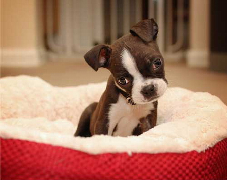 5 TOO Cute Boston Terrier Puppy Pictures